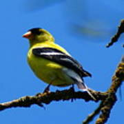 American Goldfinch 1 Poster