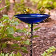 American Goldfinch At Water Bowl Poster