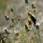 American Goldfinch Having Lunch On Bakery Hill 2 Poster