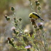 American Goldfinch Having Lunch On Bakery Hill Poster