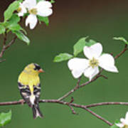 American Goldfinch In Dogwood Poster