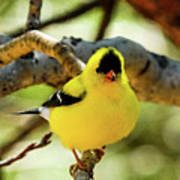 American Goldfinch On Aspen Poster
