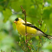American Goldfinch Sittin' In A Tree Poster