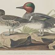 American Green-winged Teal Poster
