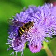 American Hoverfly Poster