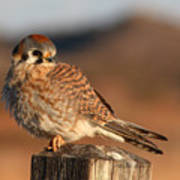 American Kestrel Giving Hunting Stare Poster