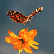 American Lady Butterfly Lands On Cosmos Flower Poster
