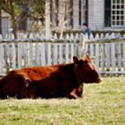 American Milking Devon In Spring Poster