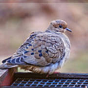 American Mourning Dove Poster