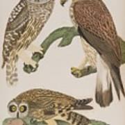 American Owl Poster