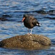 American Oystercatcher - 2 Poster