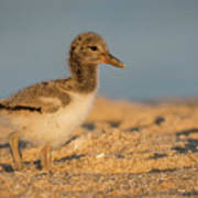 American Oystercatcher Chick Poster