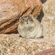 American Pika Focuses On The Camera Poster