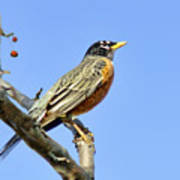 American Robin - 1 Poster