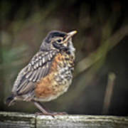 American Robin Fledgling Poster