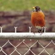 American Robin  In Spring          March            Indiana Poster