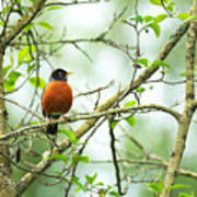 American Robin On Tree Branch Poster
