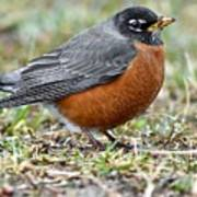 American Robin With Muddy Beak Poster