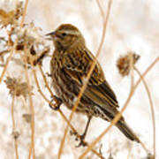 American Sparrow Poster