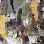 American Sycamore Bark Poster