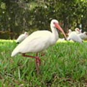 American White Ibis Birds In Orlando, Florida Poster