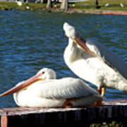 American White Pelican 001 Poster