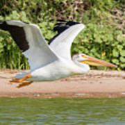 American White Pelican Above The Water Poster
