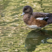 American Wigeon In Autumn Poster