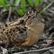 American Woodcock At Rest Poster