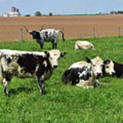 Amish Farm With Spotted Cows And Cattle In A Field Poster