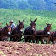 Amish Plowing The Fields With Mules Poster