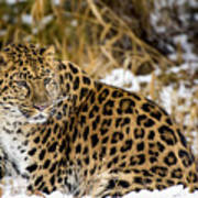 Amur Leopard In A Snowy Forrest Poster