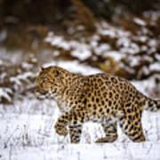 Amur Leopard Walks In A Snowy Forest Poster