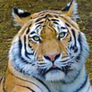 Amur Tiger 1 Poster