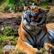Amur Tiger 7 Poster
