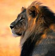 An Adult Male African Lion, Panthera Poster