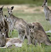 An Alert Mob Of Eastern Grey Kangaroos Poster