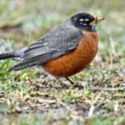 An American Robin With Muddy Beak Poster