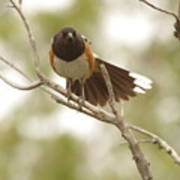 An Angry Towhee Poster