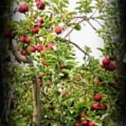 An Old Apple Tree Poster