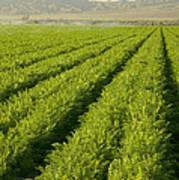 An Organic Carrot Field Poster