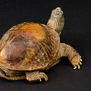 An Ornate Box Turtle With A Fiberglass Poster