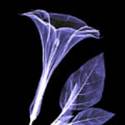 An X-ray Of A Datura Flower Poster