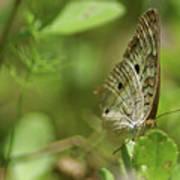Anartia Butterfly In Wonderland  Poster