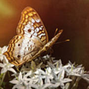 Anartia Jatrophae - White Peacock Butterfly  Poster