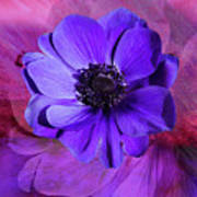 Anemone In Purple Poster