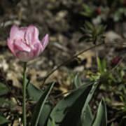 Angelique Peony Tulip Poster