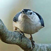 Angry White Breasted Nuthatch Poster