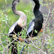 Anhingas Courting Poster