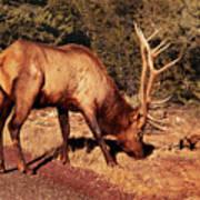 Animal - Elk -  An Elk Eating Poster